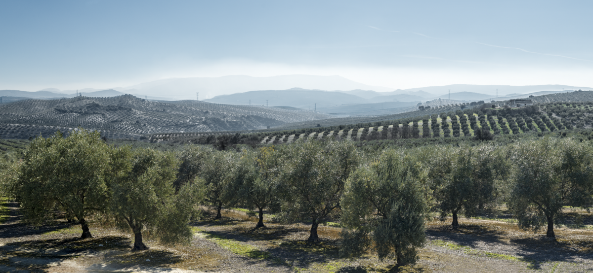 andalusian landscape olive orchards